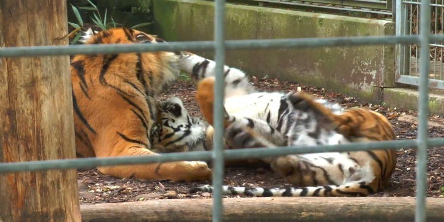 tila_und_asim_tiger_zoo